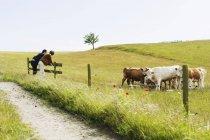 Чоловіки, нахилившись над паркан за корів — стокове фото