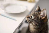 Таббі кіт сидів біля таблиці — стокове фото