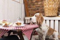 Basset Hound am Tisch sitzen — Stockfoto