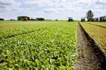 Leafy vegetables on field — Stock Photo