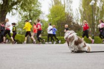 Dog watching people running in marathon — Stock Photo