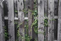 Ivy on wooden wall — Stock Photo