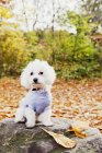 Portrait de Bichon Frise — Photo de stock
