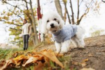 Portrait of Bichon Frise in forest — Stock Photo