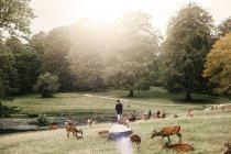 Troupeau de cerfs broutant sur le champ — Photo de stock