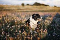 Собака на поле, покрытое цветущими растениями — стоковое фото