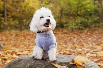 Bichon Frise on rock — Stock Photo