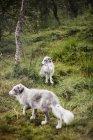 Арктические лисы в лесу — стоковое фото