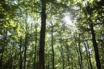 Trees in forest with sun beams — Stock Photo