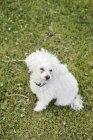 Bichon Frise puppy sitting on field — Stock Photo