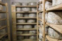 Cheese maturing on rack — Stock Photo