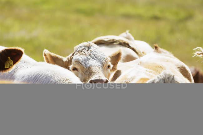 Vacas andando no campo — Fotografia de Stock
