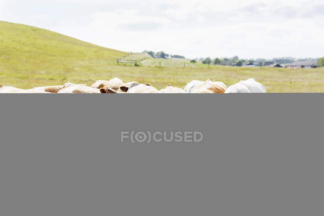 Cows grazing on grassy field — Stock Photo