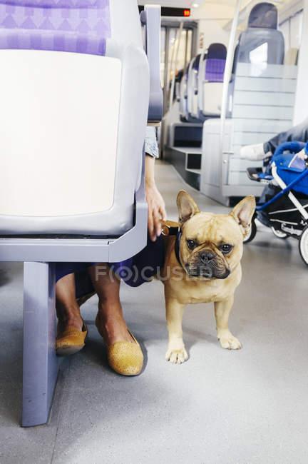 Французький бульдог з жінкою в автобусі — стокове фото