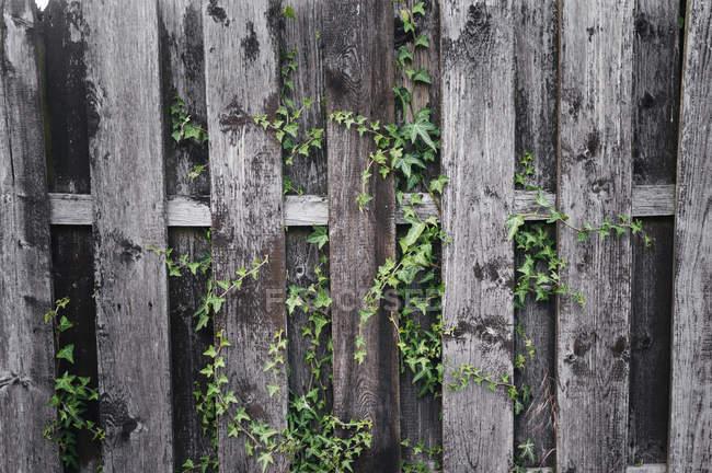 Плющ на деревянной стене — стоковое фото