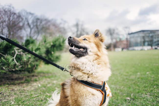 Eurasier regarder loin dans le parc — Photo de stock