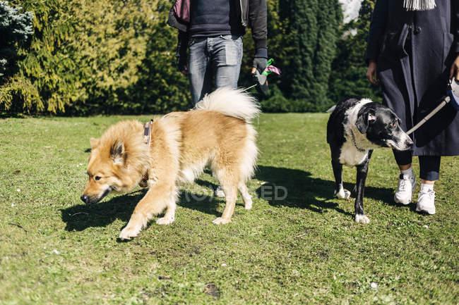 Coppia passeggio con cani — Foto stock