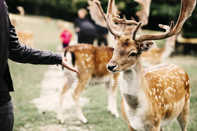Woman holding palm towards deer — Stock Photo