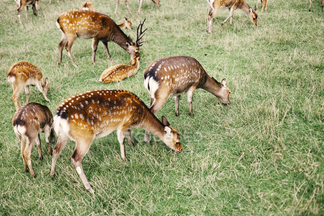 Стадо олень випасу на полі — стокове фото