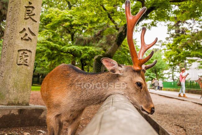Ciervo Sika recostado cabeza sobre valla - foto de stock