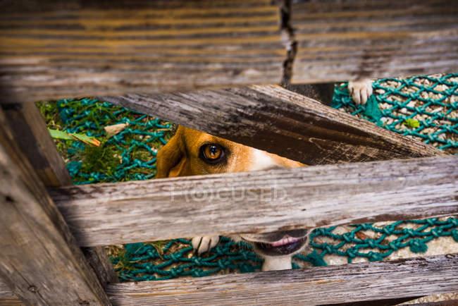 Cão olhando através do portão de madeira — Fotografia de Stock