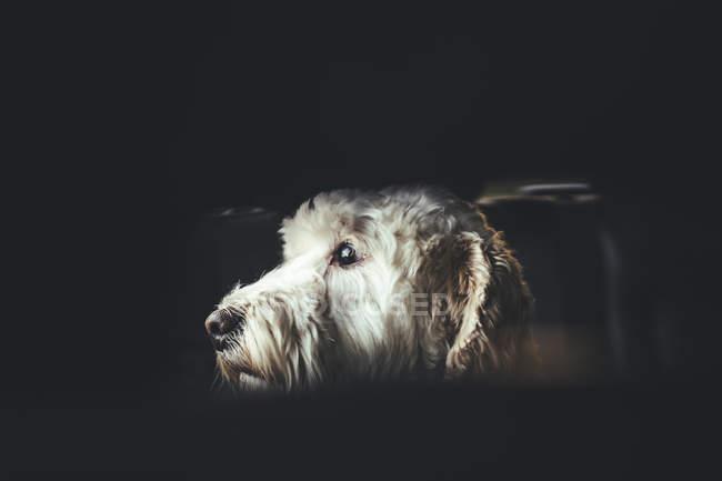 Білий волохата собака — стокове фото