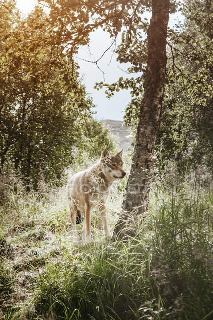 Alert fox in forest — Stock Photo