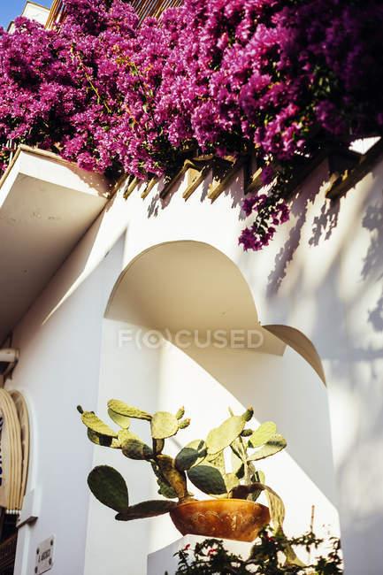 Cactus y buganvillas en edificio encalado - foto de stock