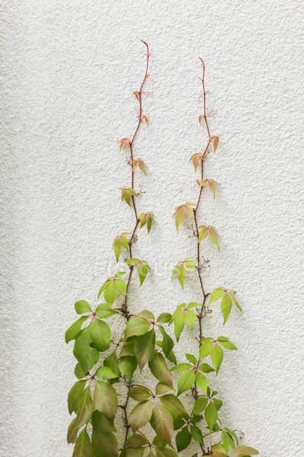 Kletterpflanzen wachsen auf Wand — Stockfoto