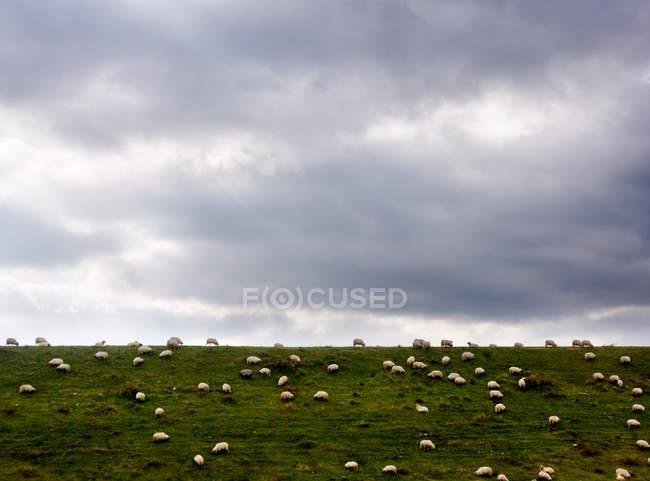 Отара овець на трав'янистих Хілл — стокове фото