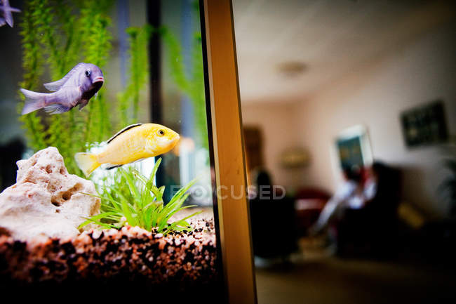 Poissons en aquarium à la maison — Photo de stock