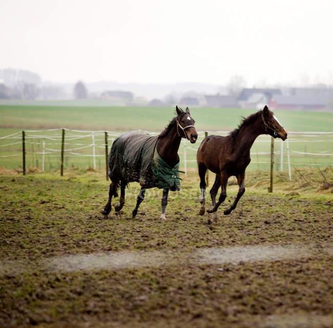 Коней, що працюють на полі — стокове фото