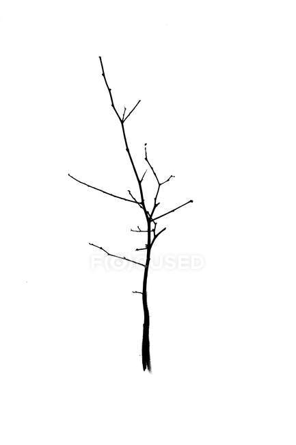 Bare tree against white — Stock Photo