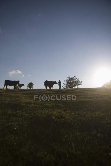 Силует корів і фермер на полі — стокове фото