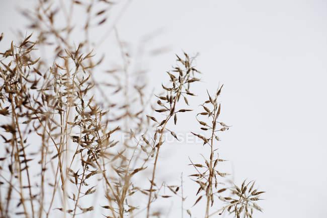 Сухих рослин проти чистого неба — стокове фото