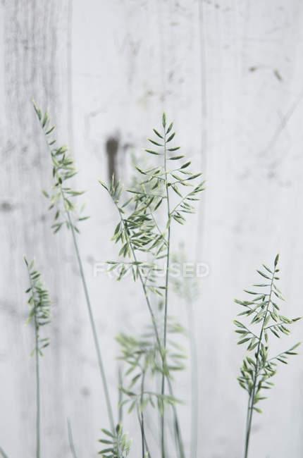 Hohe Gräser gegen weiße Wand — Stockfoto