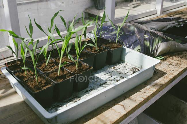 Piante in vaso che crescono sul davanzale — Foto stock