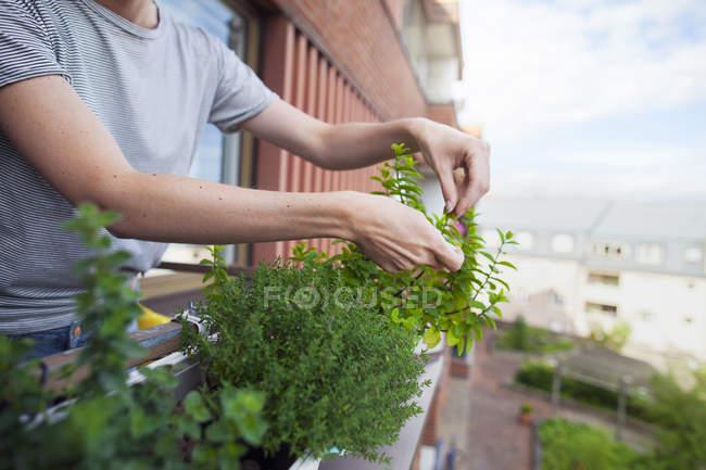Женщина проверяет травы на балконе — стоковое фото