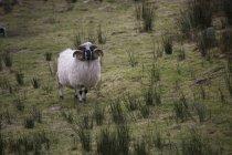 Grazing ram, Ireland — Stock Photo