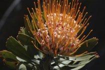 Protea plant in botanical garden — Stock Photo