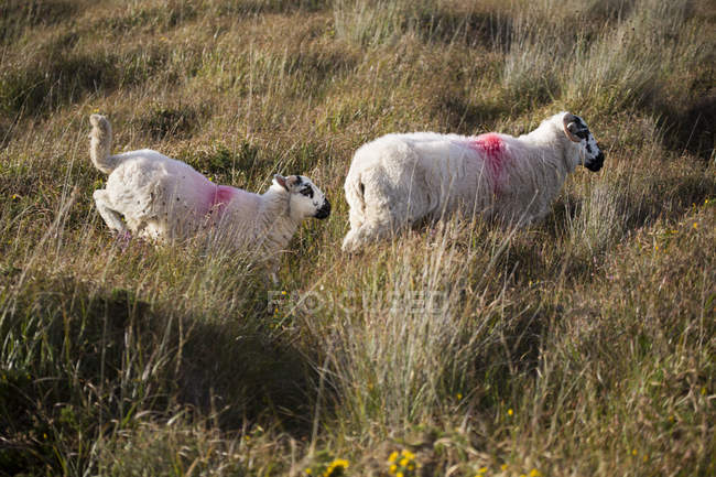 Sheep running in grass — ring of kerry, meadow - Stock Photo