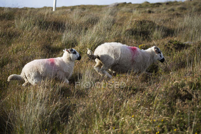 Sheep with red marks in grass — Stock Photo