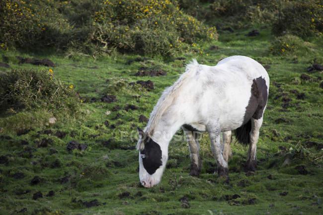 Pastoreo de caballos en pastos de verano - foto de stock