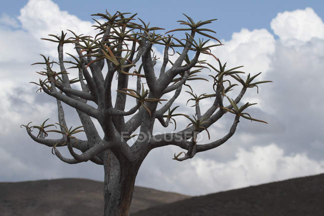 African quiver tree — Stock Photo
