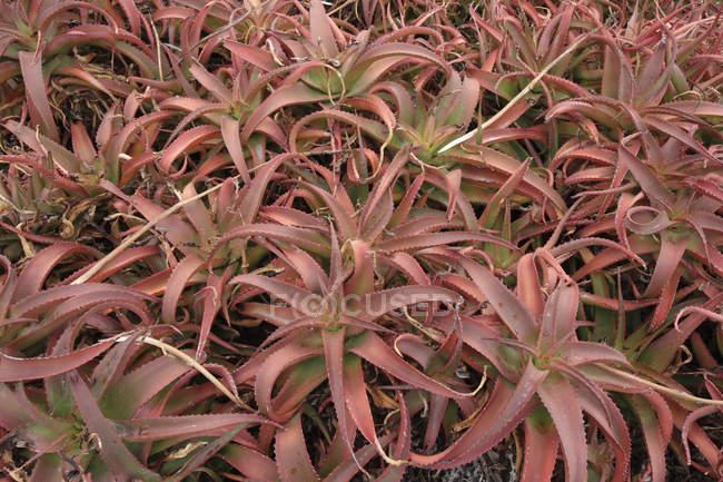 Bitter aloe plantation — Stock Photo