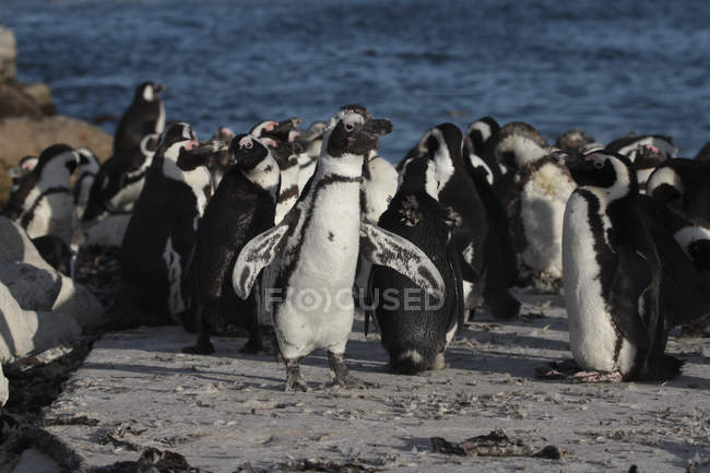 African penguins. South Africa — Stock Photo