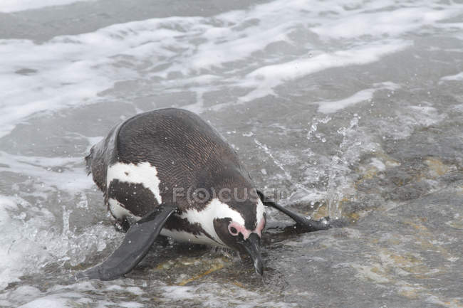 African penguin. South Africa — Stock Photo