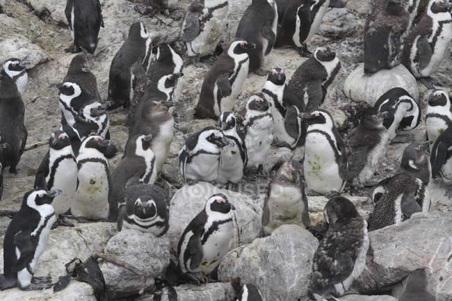 Pinguini africani. Sud Africa — Foto stock
