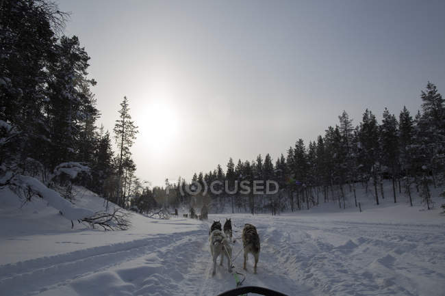 Sledding dogs pulling sleigh on woodland path in wintertime — Stock Photo