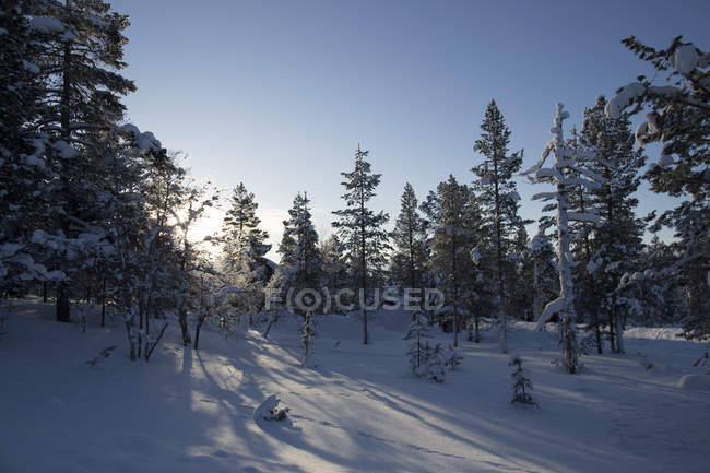 Snow-capped coniferous woodland in sunlight — Stock Photo